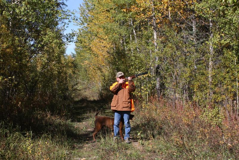 Hunting ruffed grouse stock image