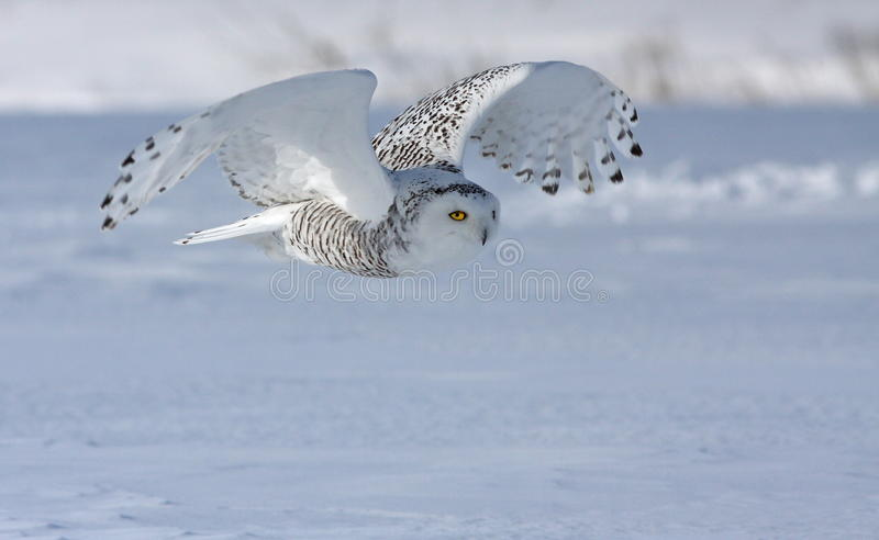 Download Hunting Snowy Owl stock image. Image of perched, nocturnal - 12644631