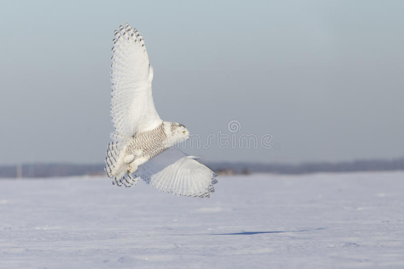 Download Hunting Snowy Owl Stock Photos - Image: 38677643