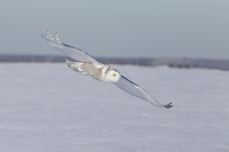 Hunting Snowy Owl Stock Images