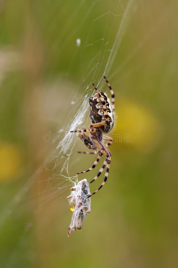 Hunting Spider stock photo