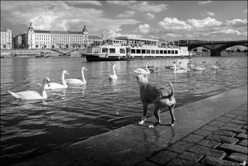 Hunting for swans in Prague. Czech Republic. royalty free stock photo