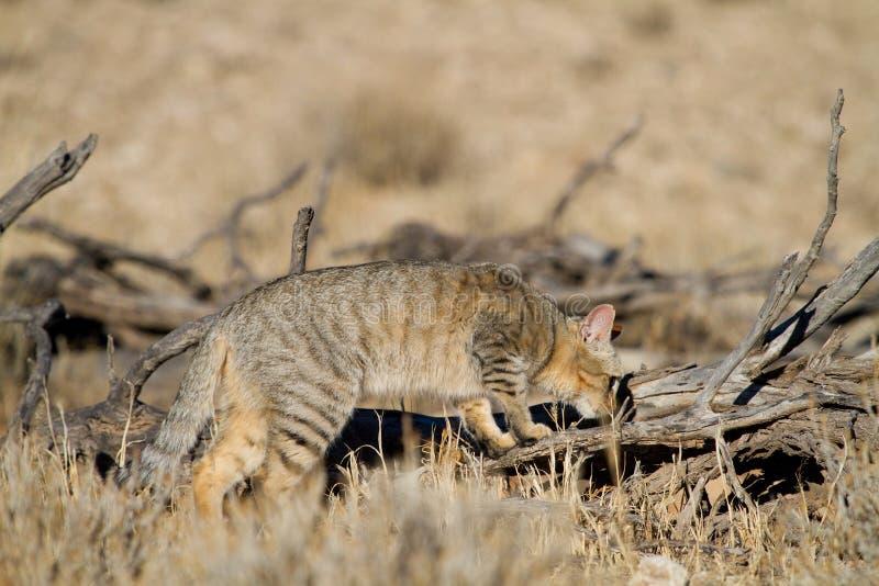 Download Hunting wild cat stock photo. Image of predator, alert - 26536692