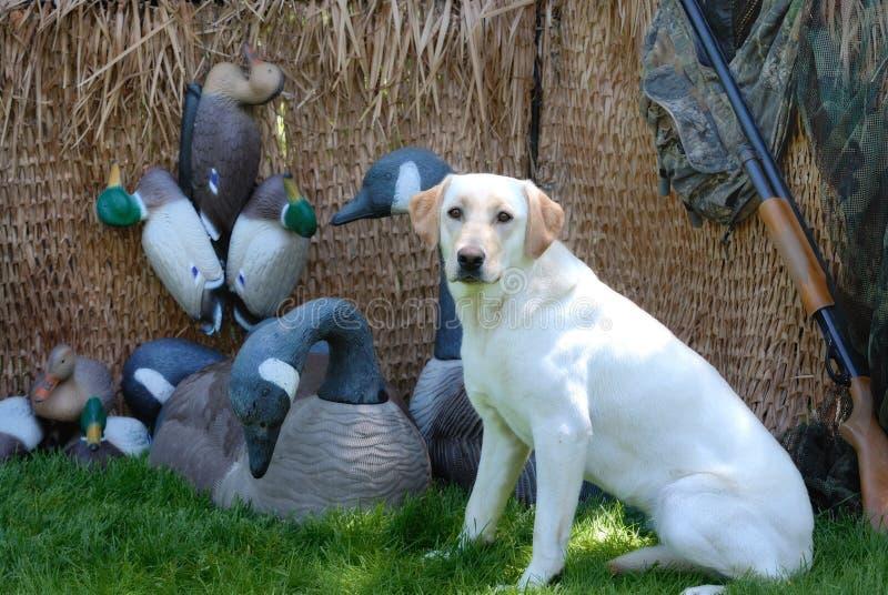 Hunting Yellow Labrador dog stock image