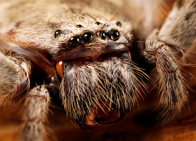 Download Huntsman spider stock image. Image of living, crawly - 27736553