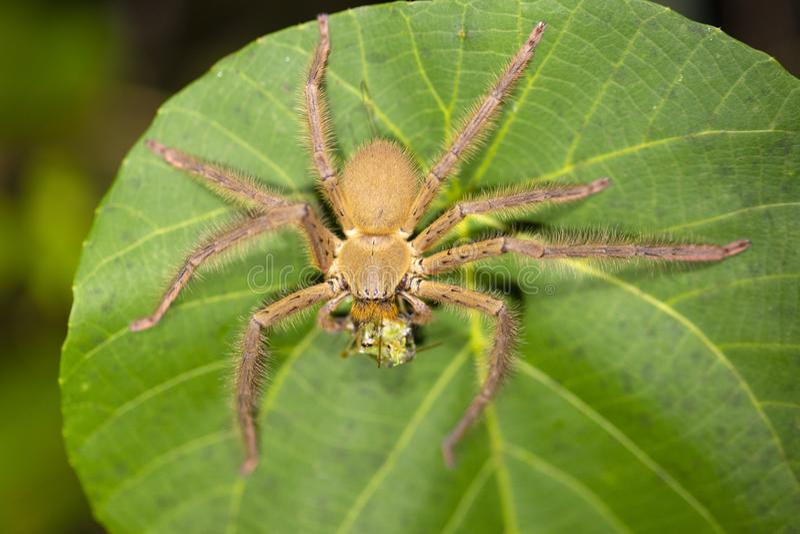 Huntsman spider eating prey royalty free stock photo