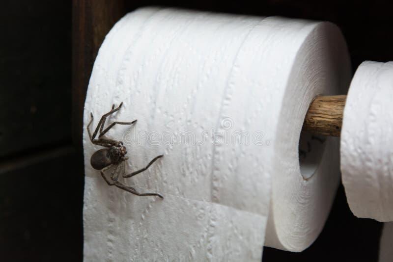 Huntsman. Spider on toilet paper