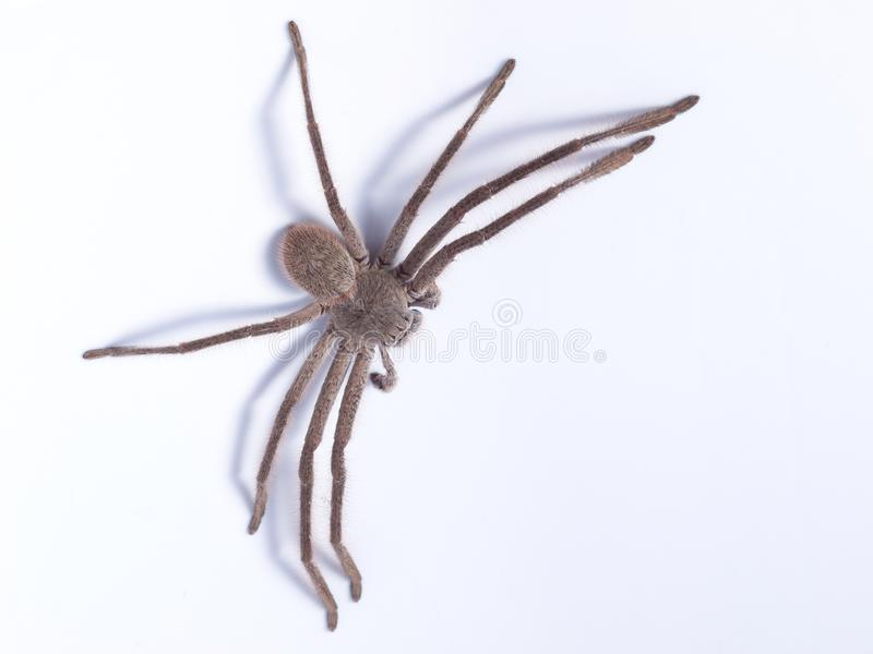 Huntsman Spider In Australia Stock Photo - Image of hairy