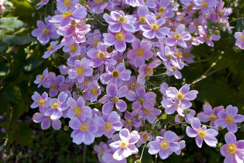 Hupehensis hermoso de la anémona fotografía de archivo
