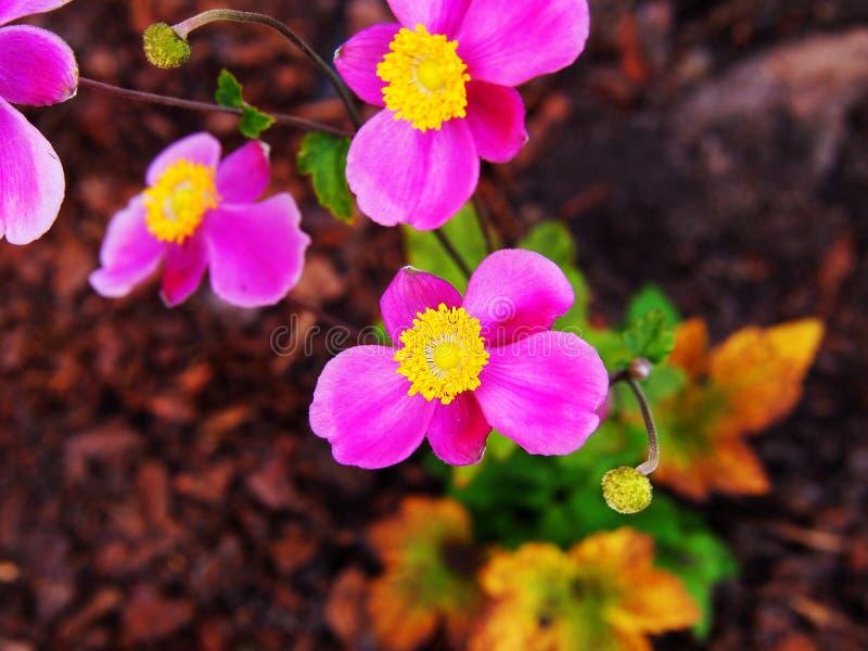 Hupehensis varietà dell'anemone ` di Splendens del ` di japonica fotografia stock libera da diritti