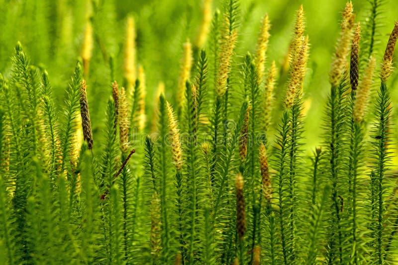 Huperzia, musgo del abeto, planta medicinal en un bosque, remedio contra enfermedad del ` s de Alzheimer imagen de archivo libre de regalías