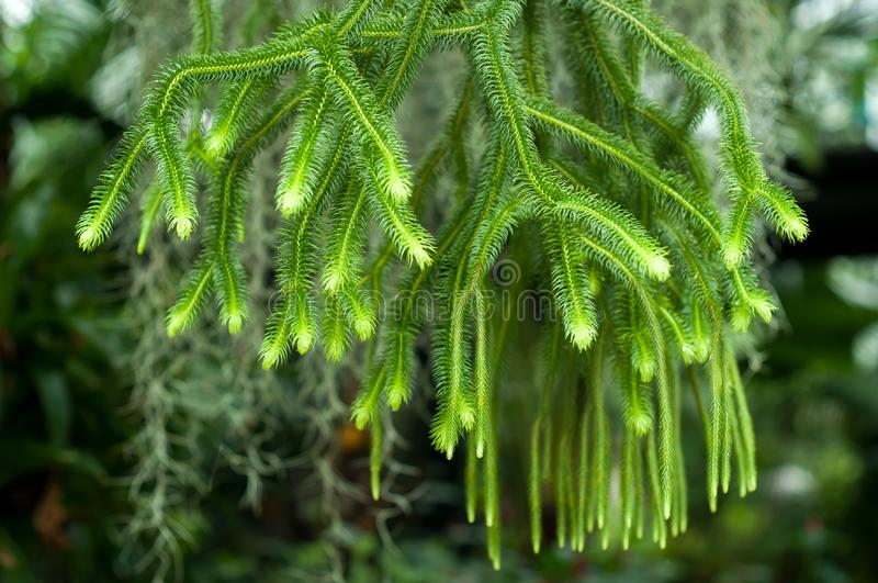 Huperzia squarrosa ferns in the garden royalty free stock image