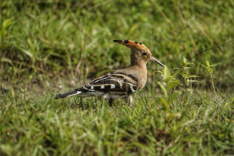 Huppi indien d'oiseau images libres de droits