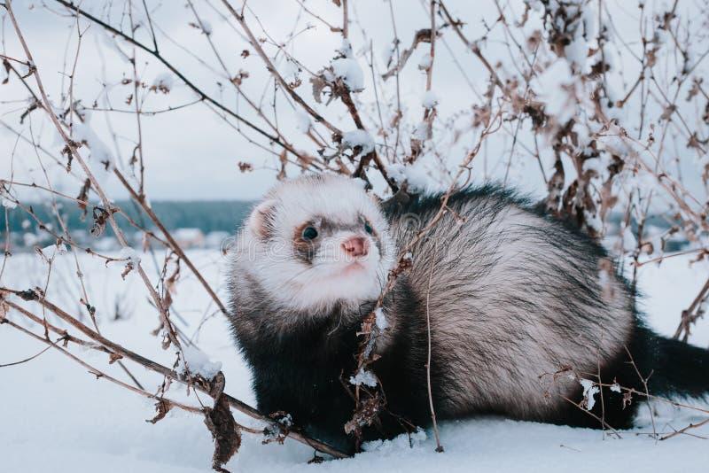 Hurón en la nieve fotos de archivo libres de regalías