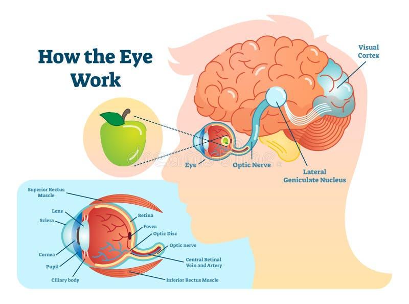 Hur den medicinska illustrationen för ögonarbete, synar - hjärndiagrammet royaltyfri illustrationer
