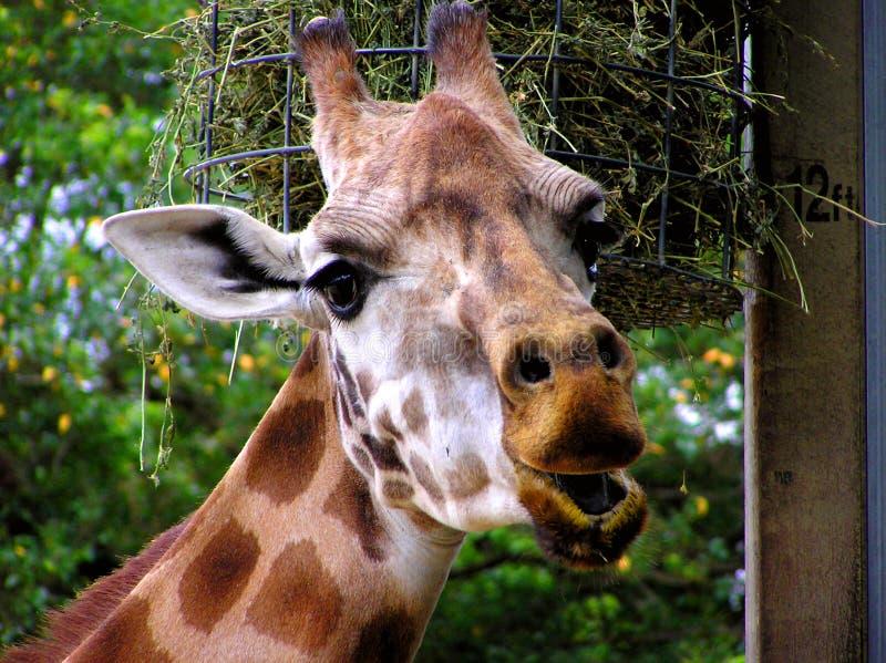 Download Hur högväxt I arkivfoto. Bild av giraff, uttrycksfullt - 290740