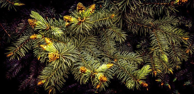 Hur man blommar granen? Och det finns denna gåta i den djupa skogen i sen vår arkivfoto