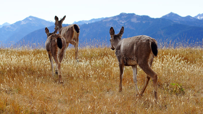 Huracán Ridge, parque nacional olímpico, WASHINGTON los E.E.U.U. - octubre de 2014: Un grupo de ciervos de blacktail para admirar fotografía de archivo