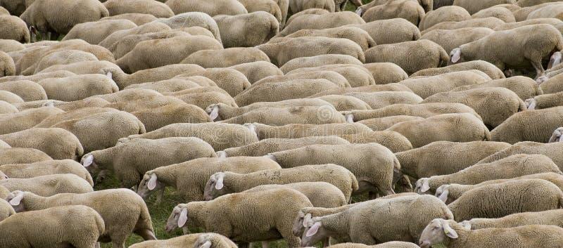 Hurd delle pecore fotografia stock