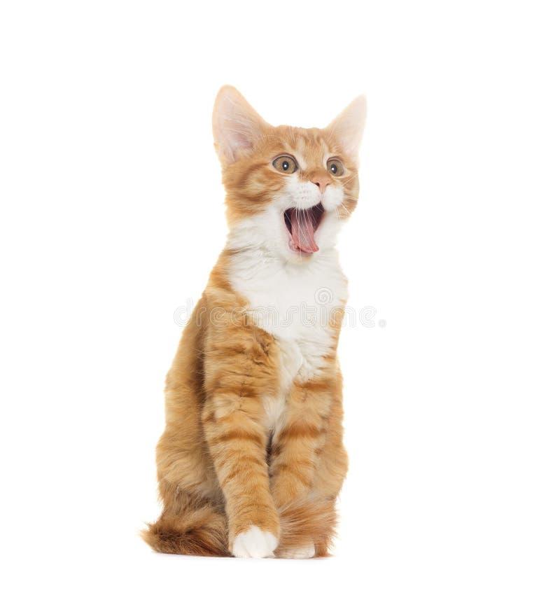 Hurlement de chat photo libre de droits