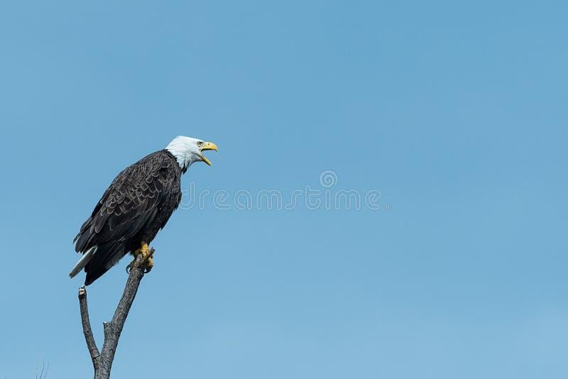 Hurlements américains d'aigle chauve image stock