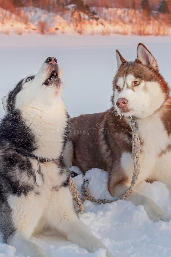 Hurlements enroués sibériens aux yeux bleus de chien soulevant son récepteur Le chien enroué de Brown soigneusement à lui regarde photos libres de droits