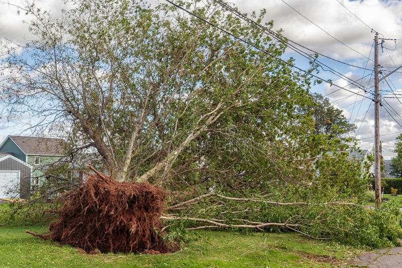 Hurricane Dorian`s Damaged trees. Large tree uprooted by Hurricane Dorian in a suburban neighborhood in Prince Edward Island, Canada royalty free stock image