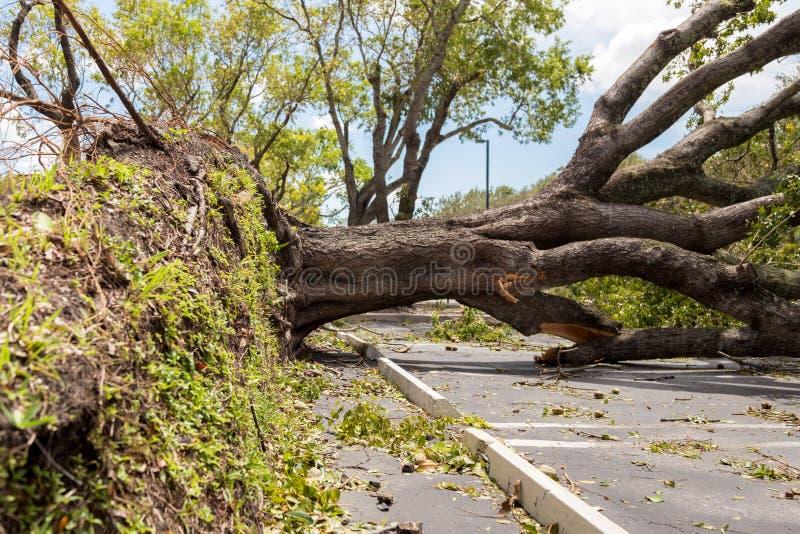 Hurricane Irma downed oak tree. A massive live oak tree downed from the force of Hurricane Irma stock image