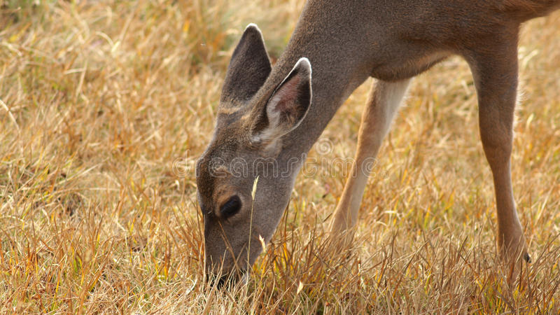 Hurricane Ridge, Olympic National Park, WASHINGTON USA - October 2014: A blacktail deer stops to admire the view of the. Mountains and eating gras royalty free stock photos