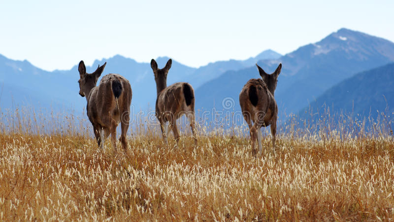 Hurricane Ridge, Olympic National Park, WASHINGTON USA - October 2014: A group of blacktail deer stops to admire the. View of the mountains and eating gras royalty free stock photo
