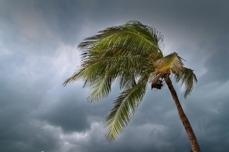 Hurricane tropical storm coconut palm tree leaves royalty free stock photo