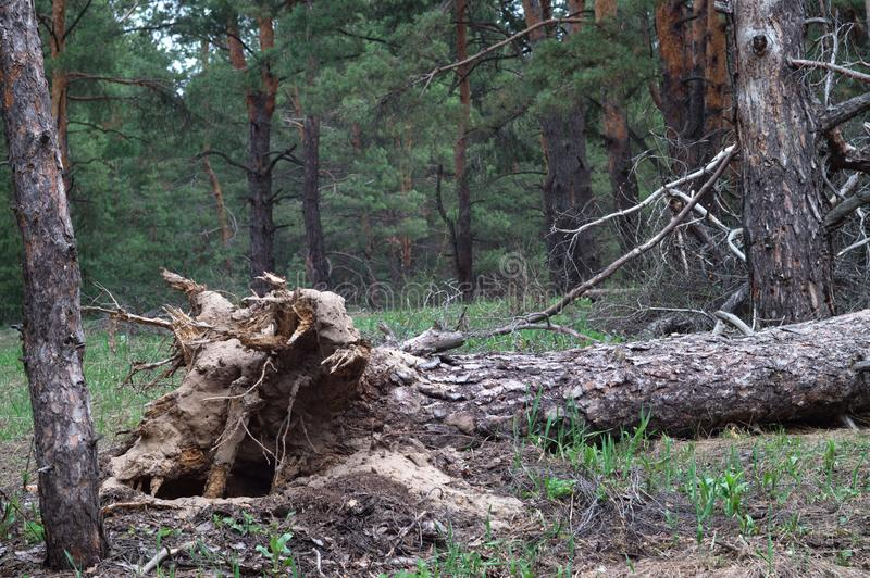 Hurricane uprooted tree in the forest. Fallen big pine stock images