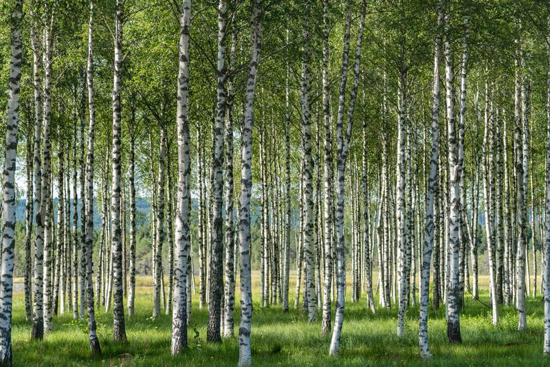 Grove of birch trees in summer with black and white trunks, green leafs and green grass on the forest floor royalty free stock photography