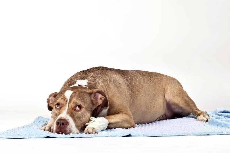 Hurt Dog Royalty Free Stock Image