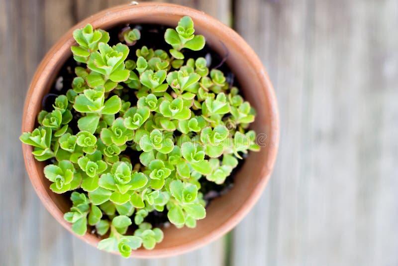 Hurtig grön växt i terrakottakruka royaltyfri fotografi
