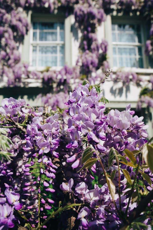 Hus som täckas upp, genom att blomstra wisteriaträdet arkivbilder