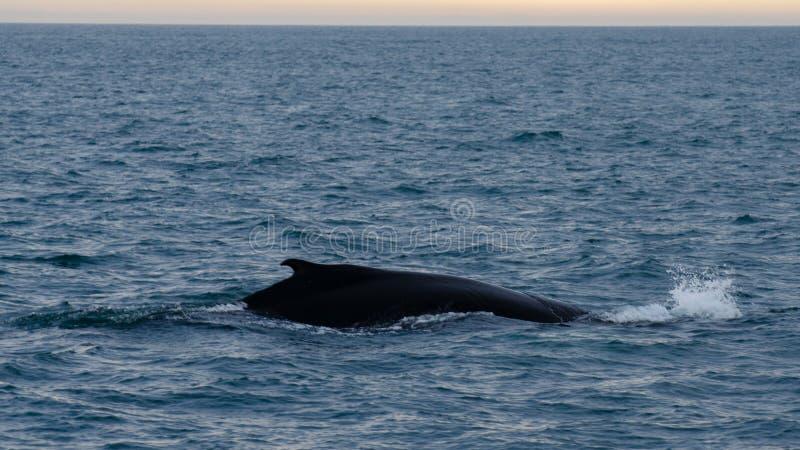 Husavik - η φάλαινα Ισλανδία humpback, τον Αύγουστο του 2018 στοκ φωτογραφία με δικαίωμα ελεύθερης χρήσης
