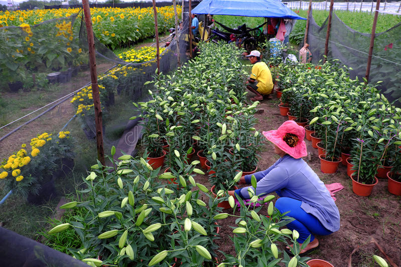Husband and wife working on garden. BINH THUAN, VIET NAM- JAN 21, 2017: Asian farmer working on lily garden at evening, husband and wife sit to care flower bud royalty free stock photography