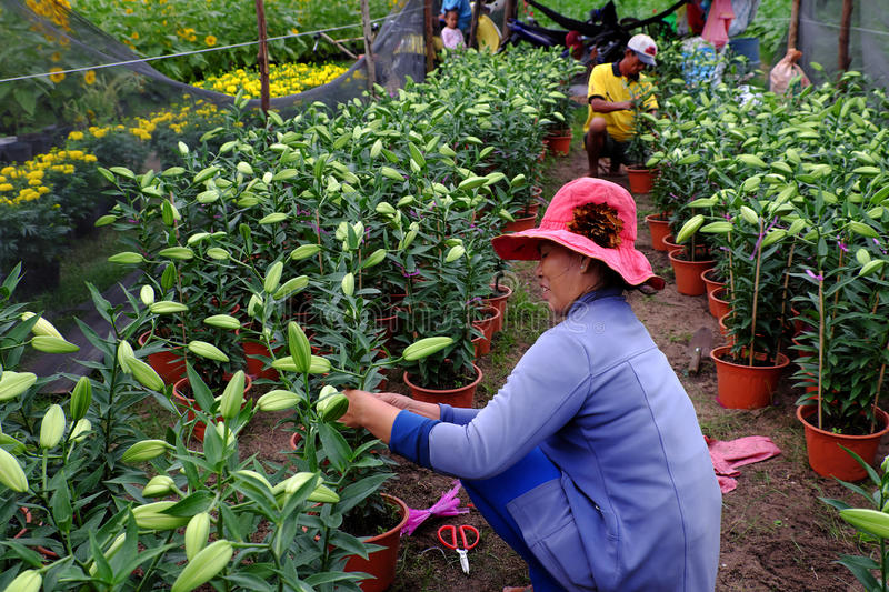 Husband and wife working on garden. BINH THUAN, VIET NAM- JAN 21, 2017: Asian farmer working on lily garden at evening, husband and wife sit to care flower bud royalty free stock image