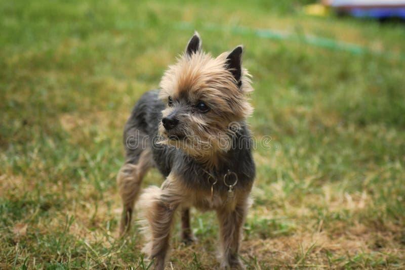 Husdjur för gräsplan för Yorkshire Terrier hundgräs arkivbild