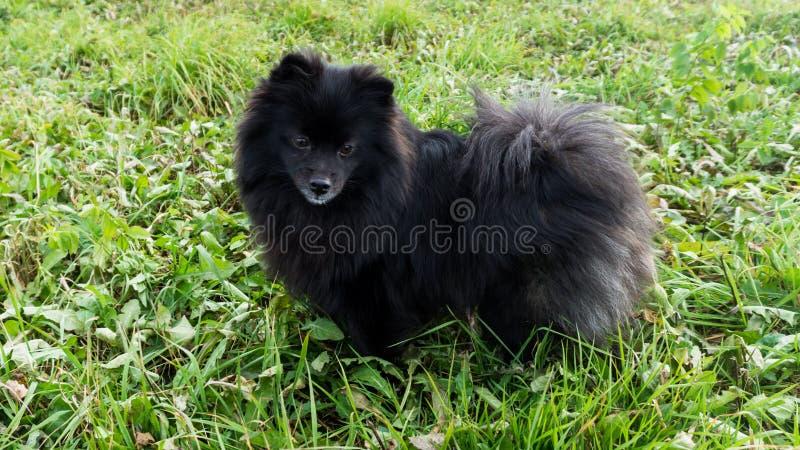 Husdjur för tysk spitz för Pomeranian hund utomhus- royaltyfria foton