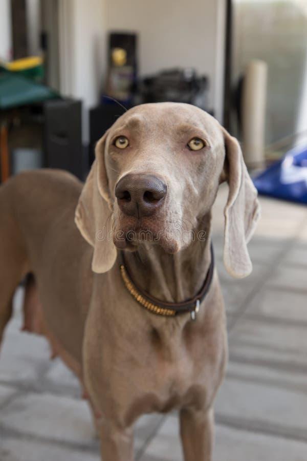 Husdjur f?r weimaraner f?r hundkappl?pningvovveavel royaltyfri fotografi