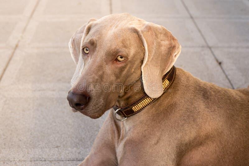 Husdjur f?r weimaraner f?r hundkappl?pningvovveavel arkivfoto