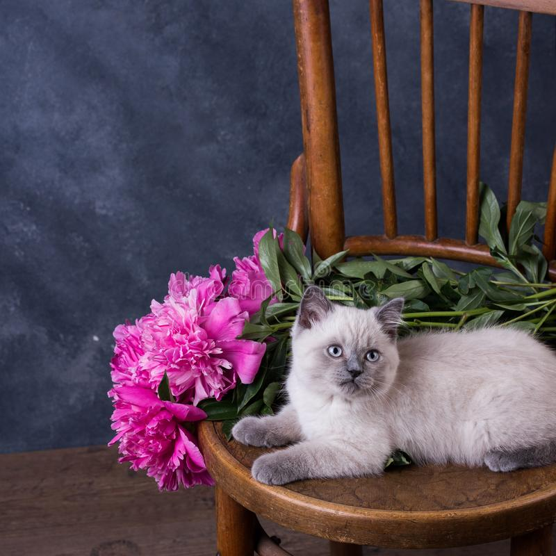husdjur Lila kattunge för gullig liten brittisk shorthair royaltyfri foto