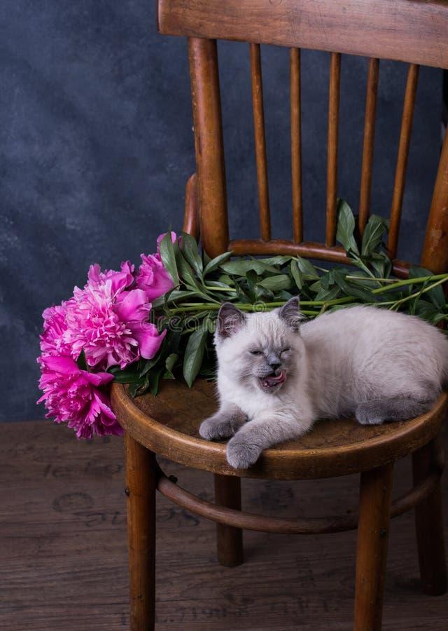 husdjur Lila kattunge för gullig liten brittisk shorthair royaltyfria foton