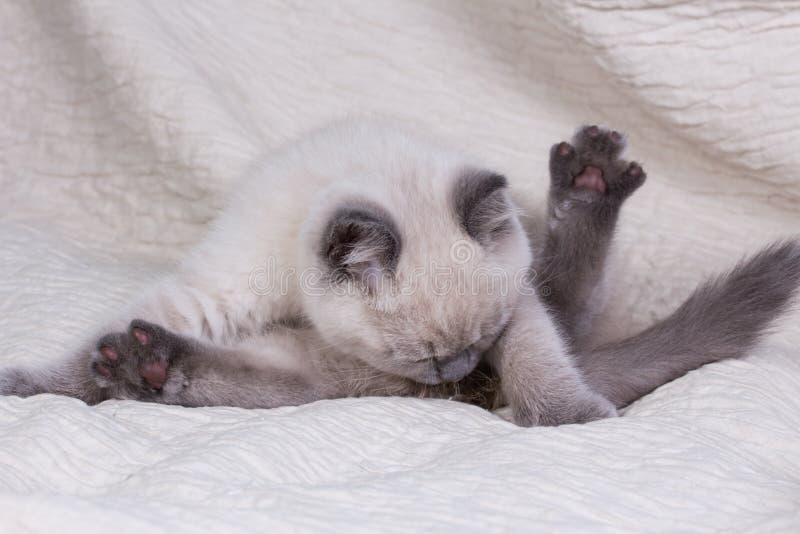 husdjur Lila kattunge för gullig liten brittisk shorthair arkivfoto