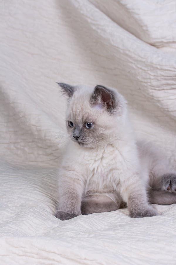 husdjur Lila kattunge för gullig liten brittisk shorthair royaltyfri bild