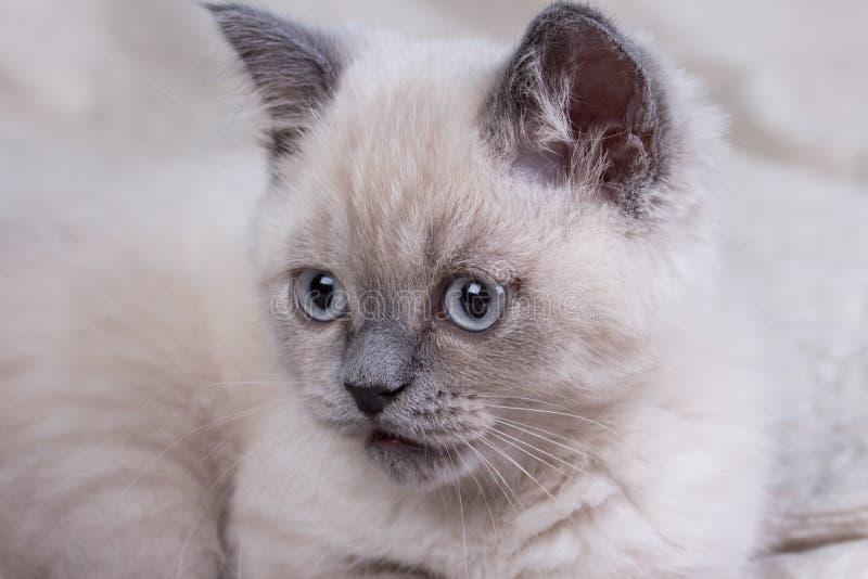 husdjur Lila kattunge för gullig liten brittisk shorthair arkivfoton