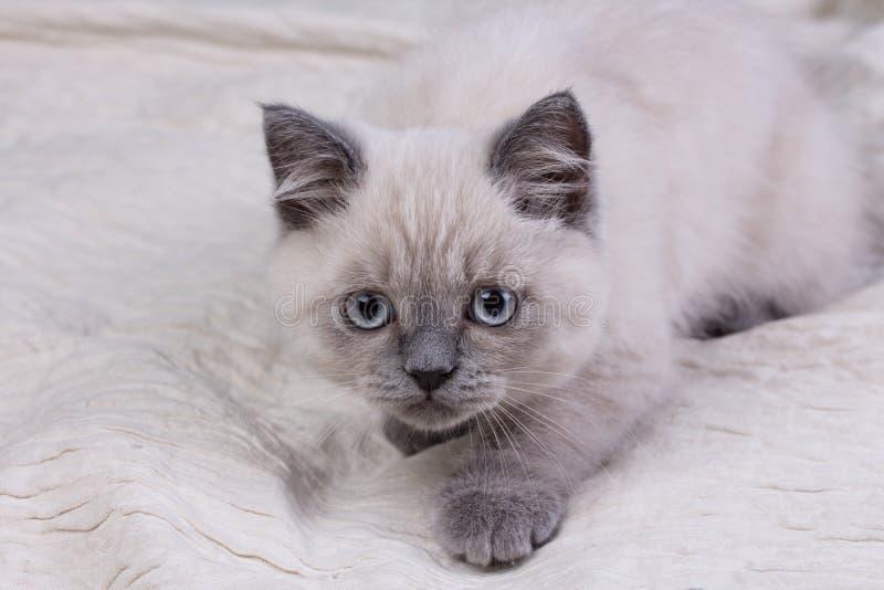 husdjur Lila kattunge för gullig liten brittisk shorthair arkivbilder