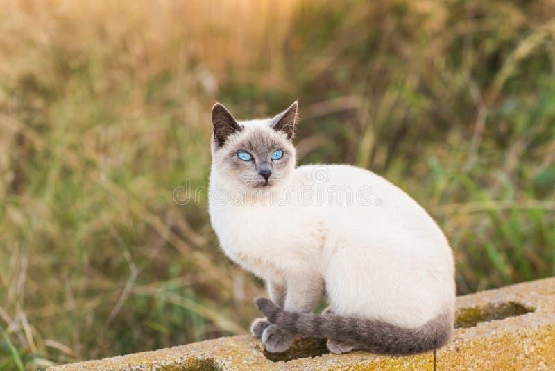 Husdjur- och stamträddjurbegrepp - stående av den siamese katten med blåa ögon arkivfoton